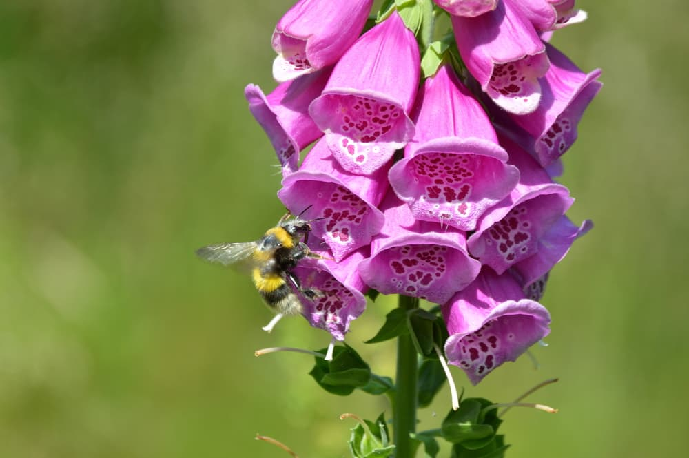 pink foxgloves with a bee sat the flower