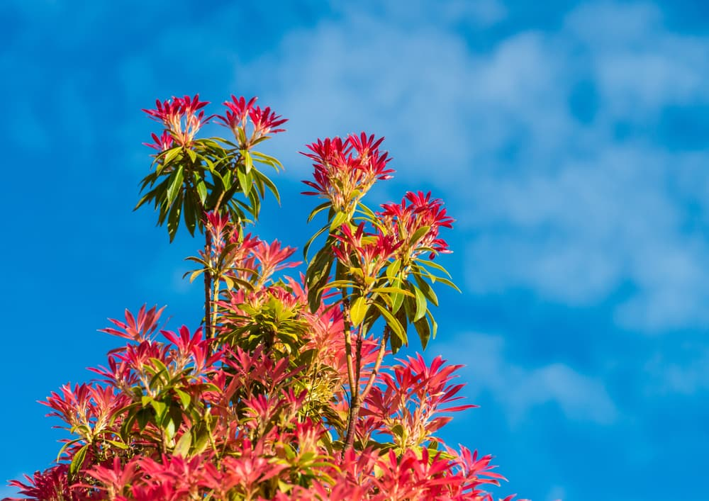 tall pieris bush with blue sky in background