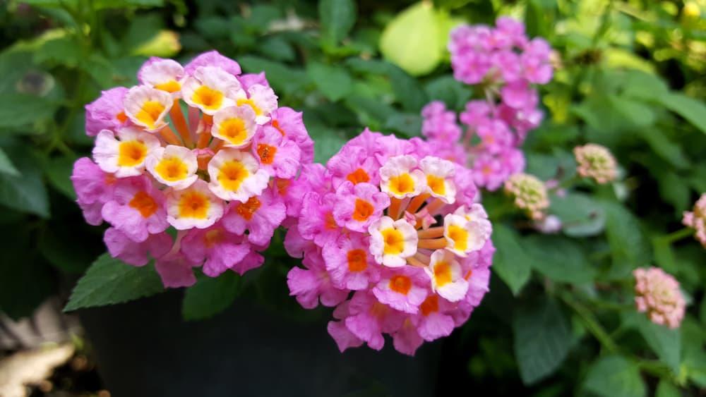 Pink Lantana flowers in a garden