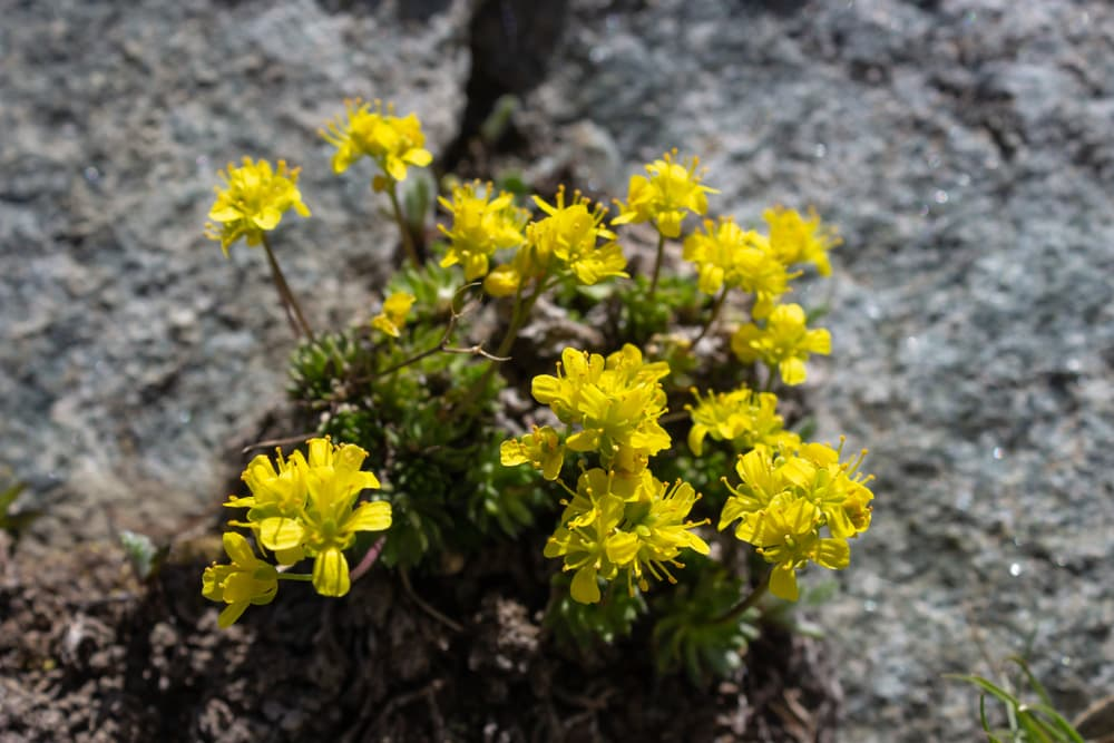 yellow Draba Aizoides flowers
