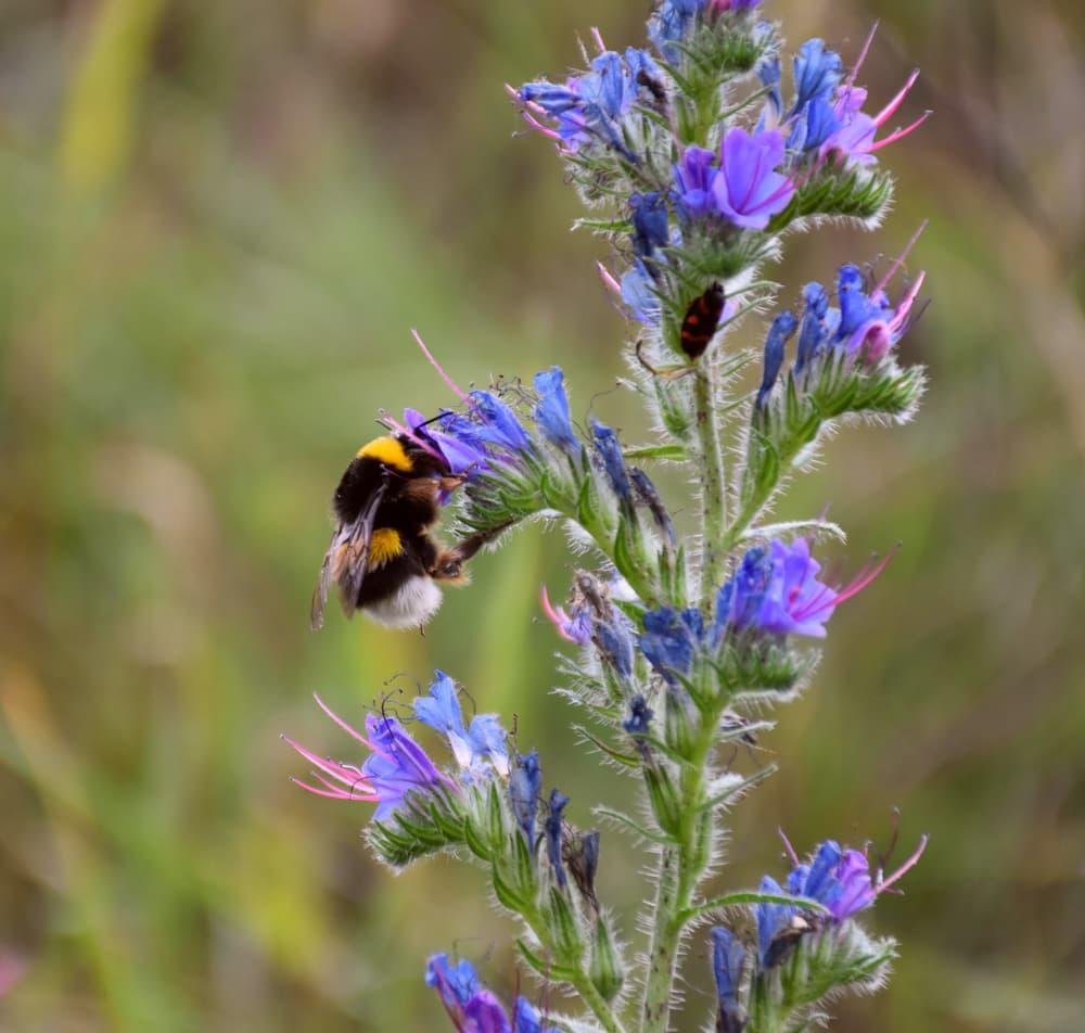 bee sat on Echium vulgare