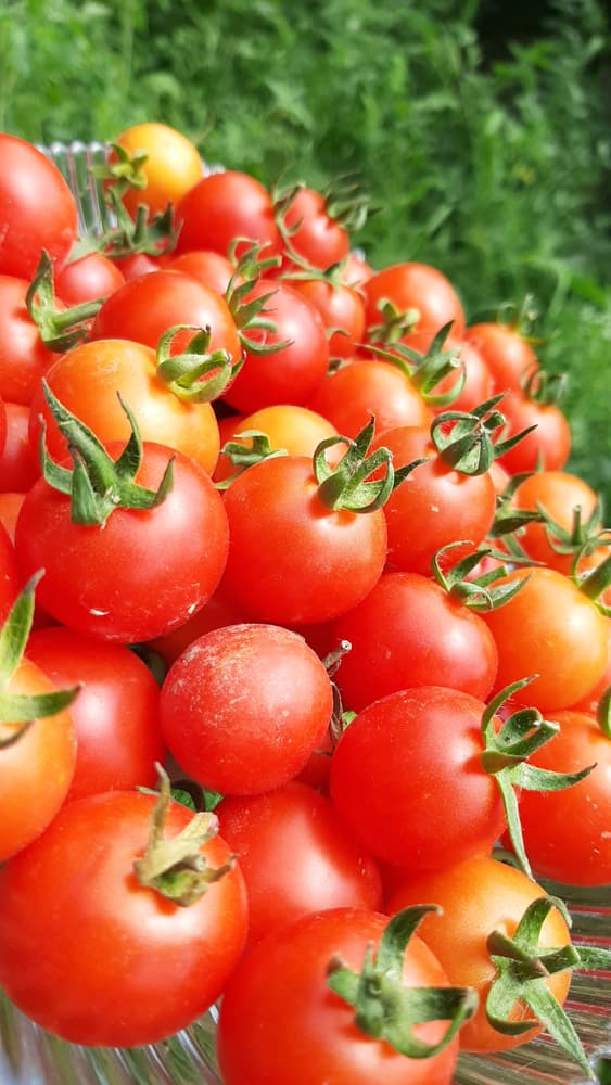 ripe red gardeners delight tomatoes up close