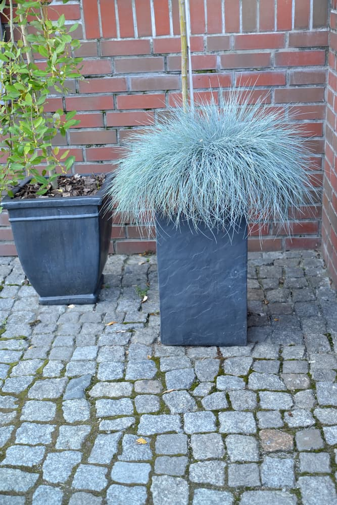 Festuca glauca in a garden planter