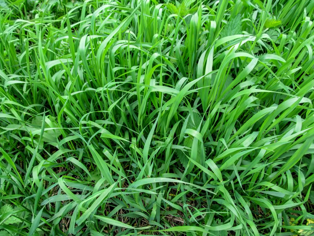 green Elymus magellicanus grass