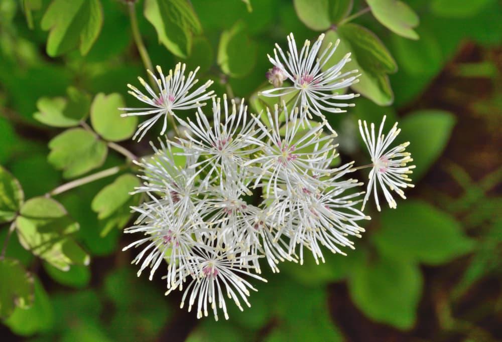 white flowers of Thalictrum filamentosum
