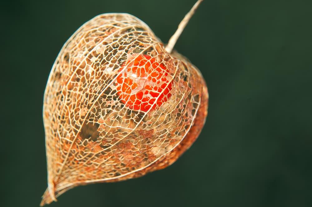 Physalis Alkekengi dried fruit up close
