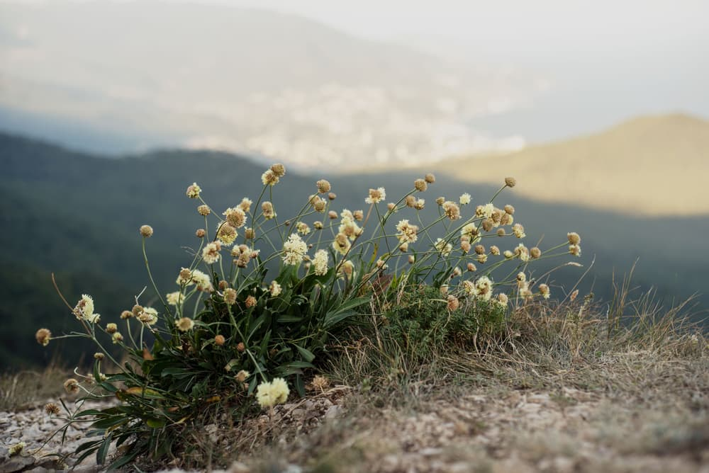 wild scabiosa plants in the hills of Eastern Europe