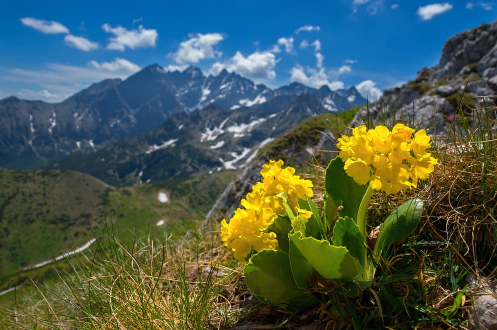 yellow auricula on a mountain-side