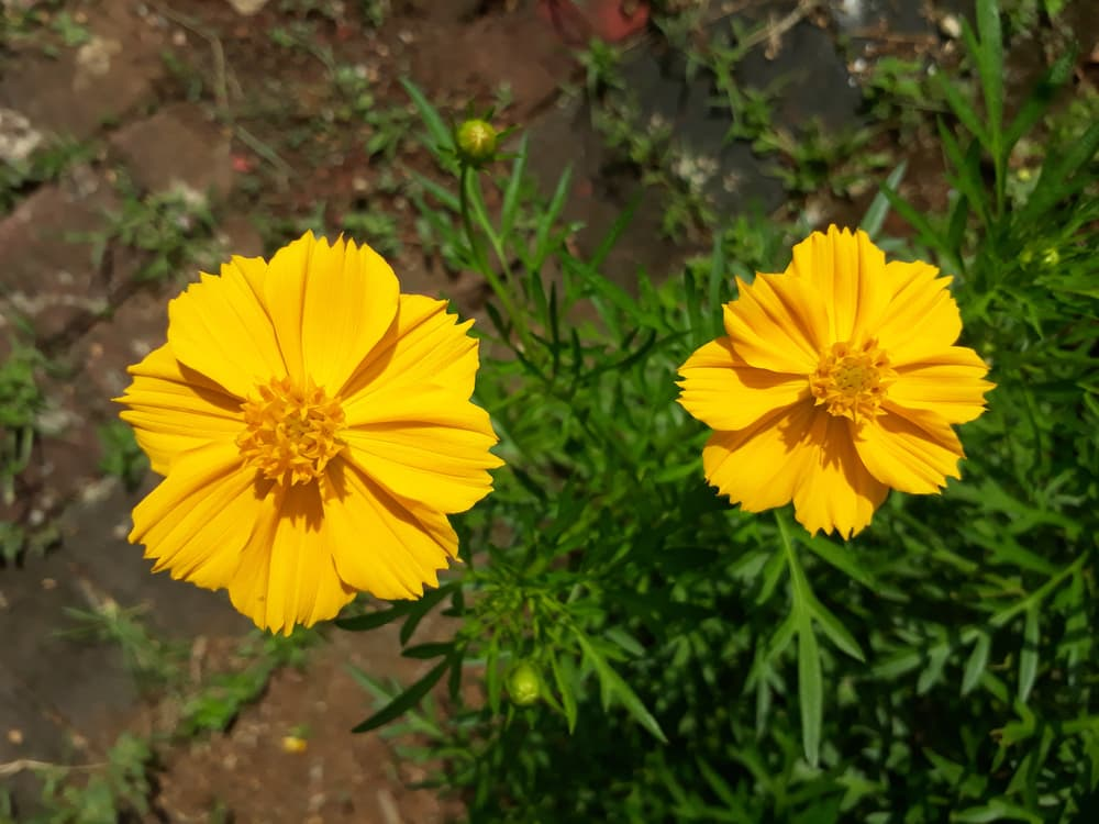 Two Sulfur yellow Cosmos flowers