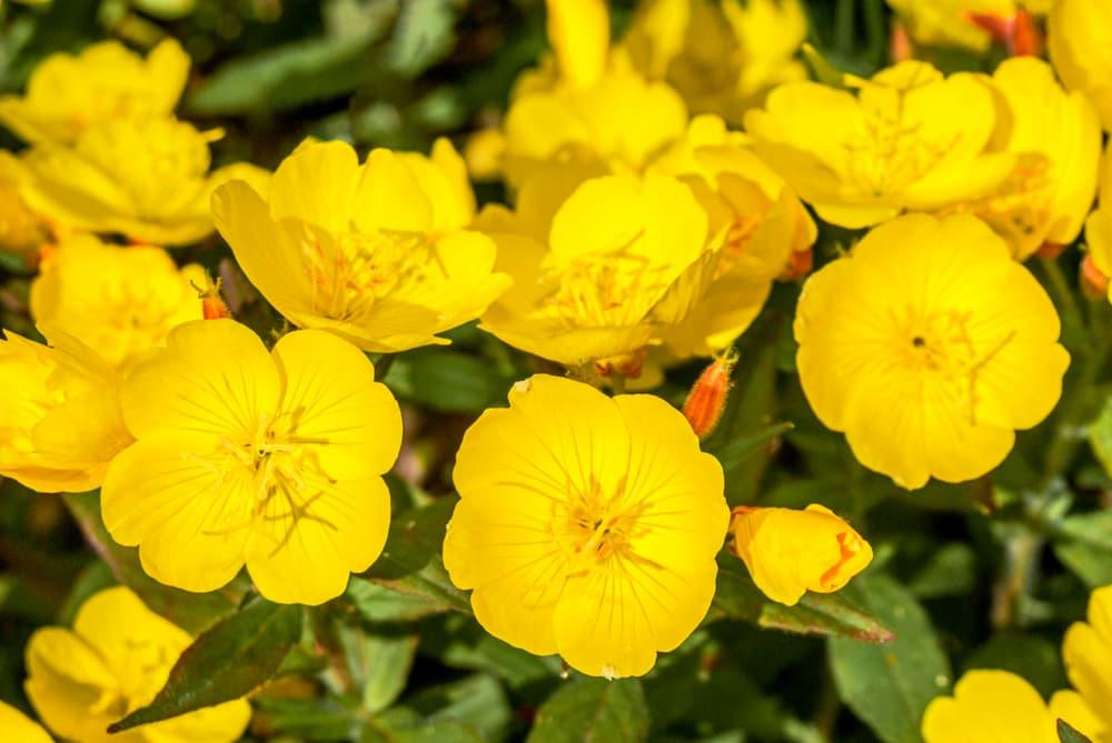 bright yellow primrose flowers