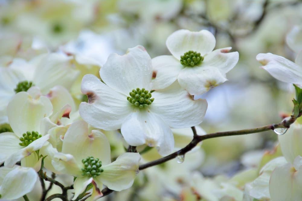 white Cornus florida