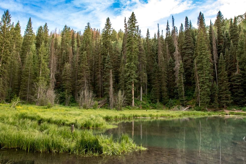 lodgepole pine trees next to a mountain lake