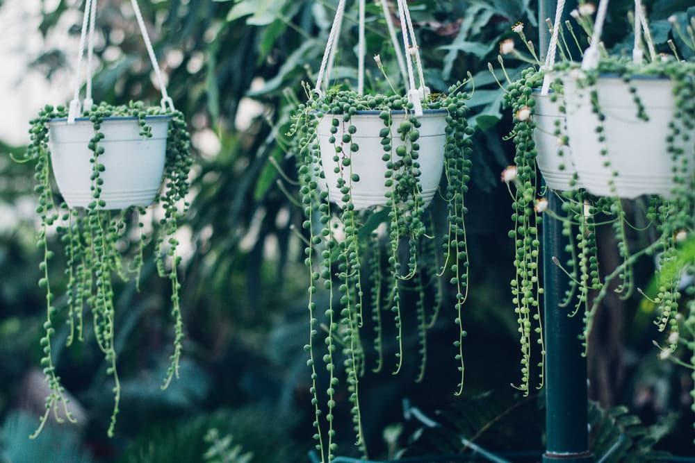 three string of pearls succulents hanging in a greenhouse