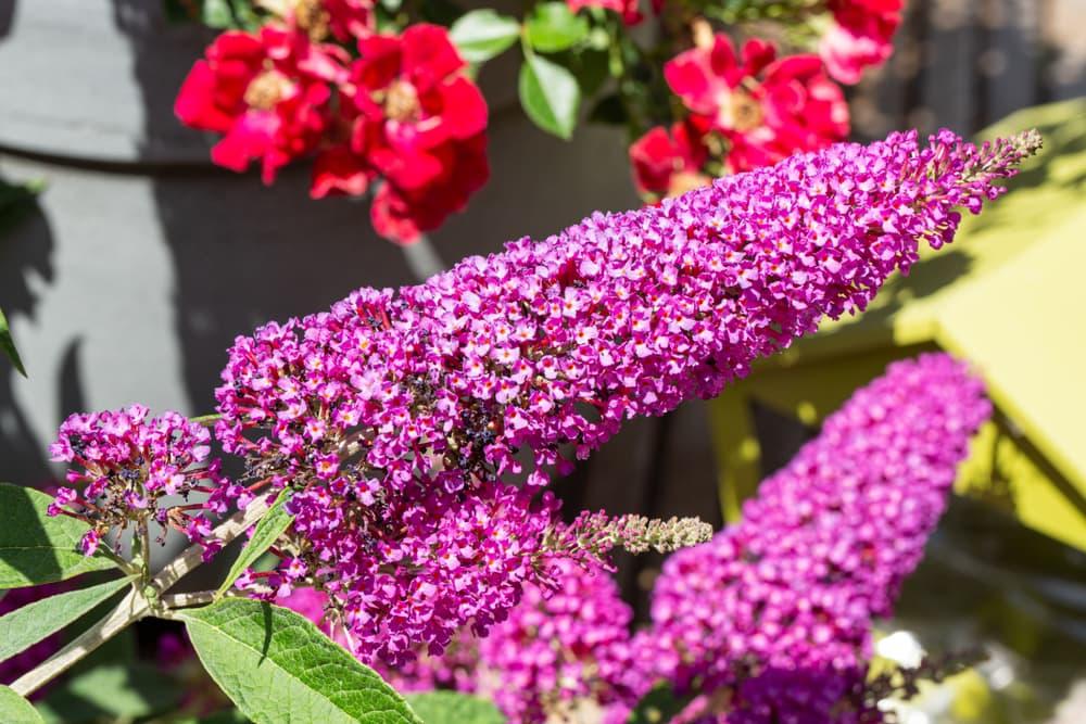 pink buddleja blooms