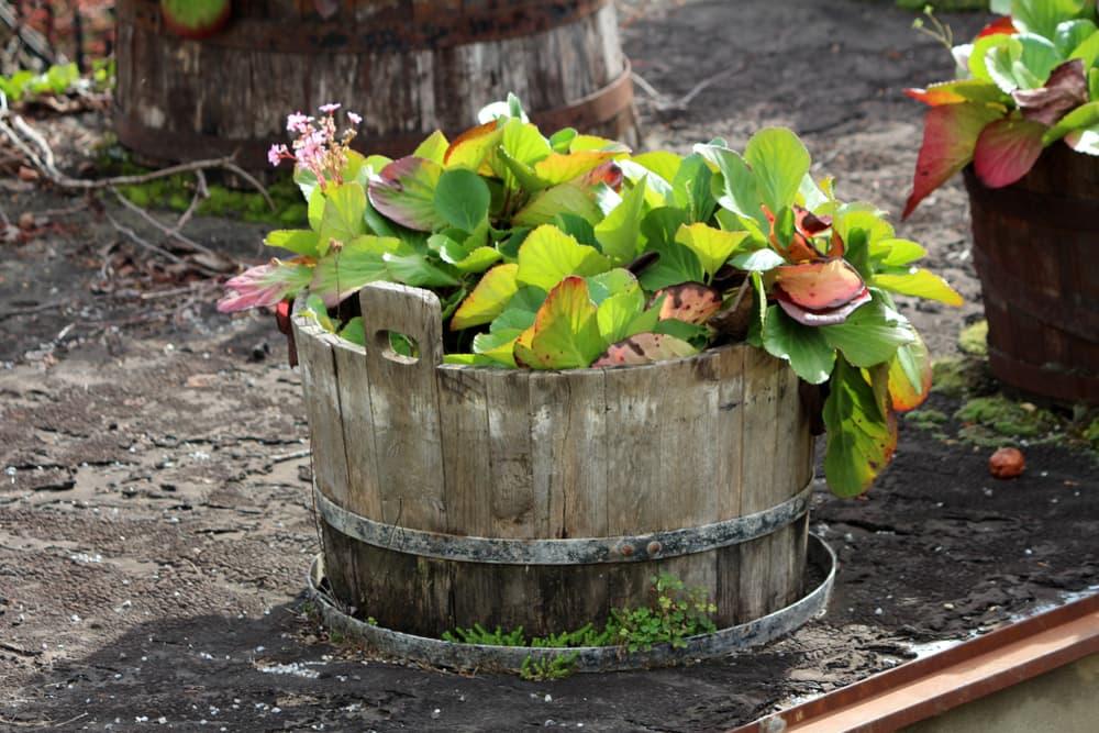 bergenia growing in a half barrel planter