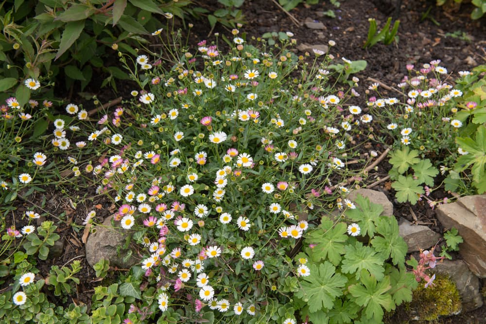 Mexican Fleabane Plant growing on a stone wall