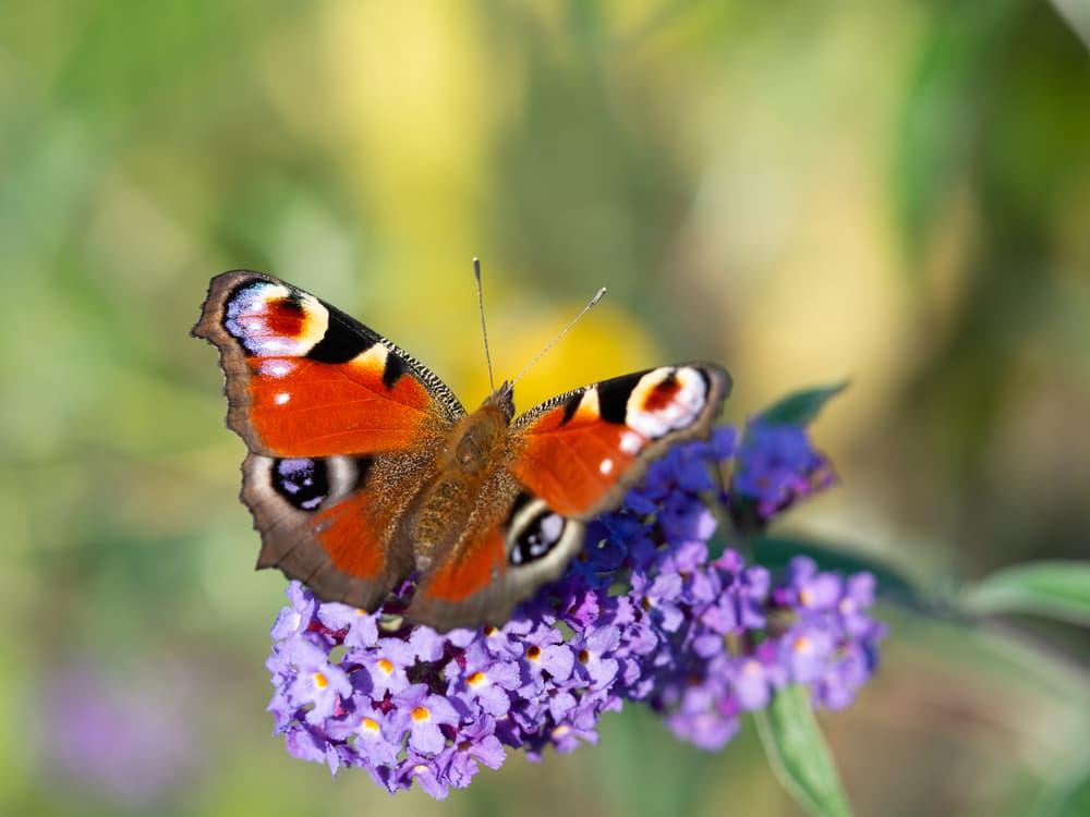 a butterfly sat on buddleja bush