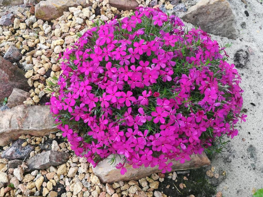 pink Phlox douglasii Crackerjack in an alpine garden