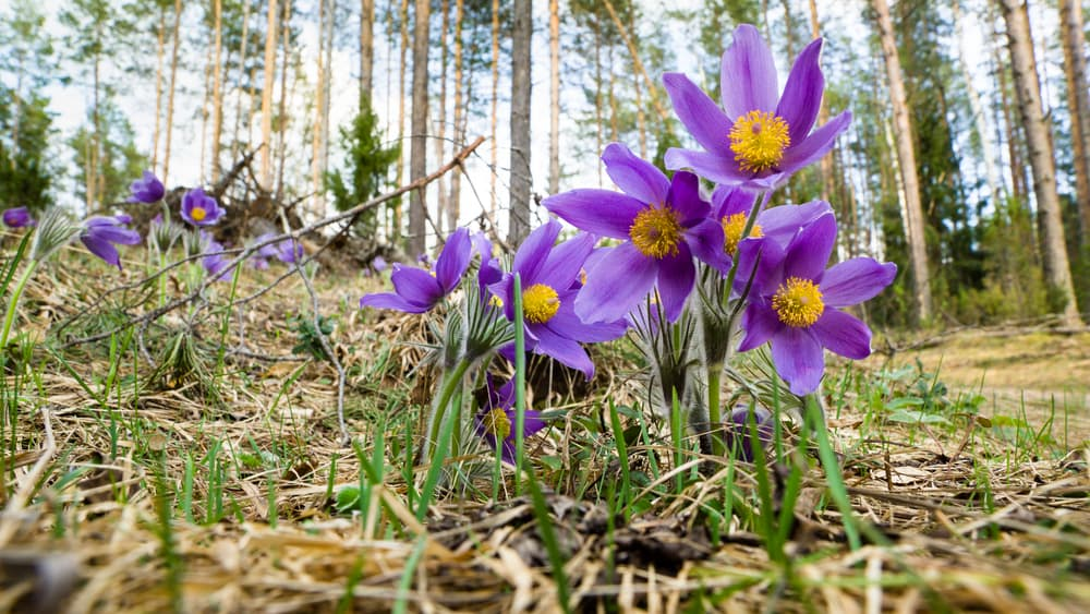 Eastern pasqueflower in a spring forest