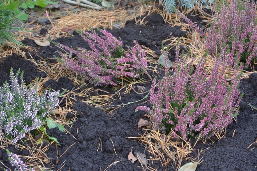 freshly planted heather