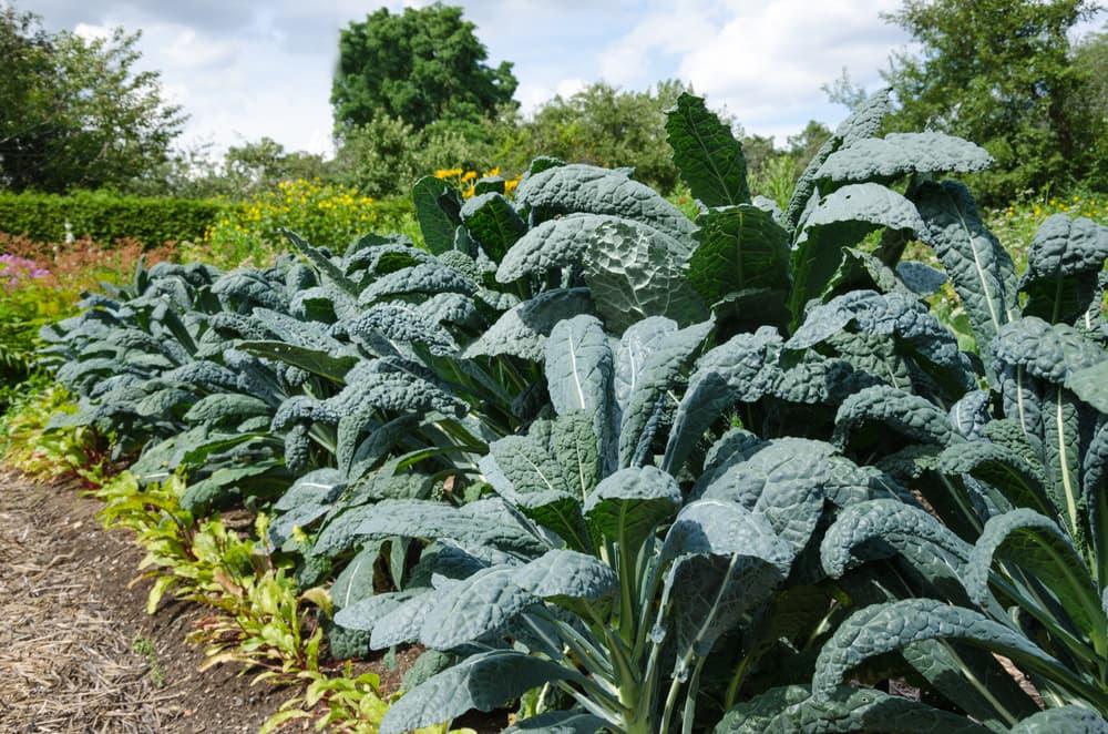 flourishing kale in an allotment