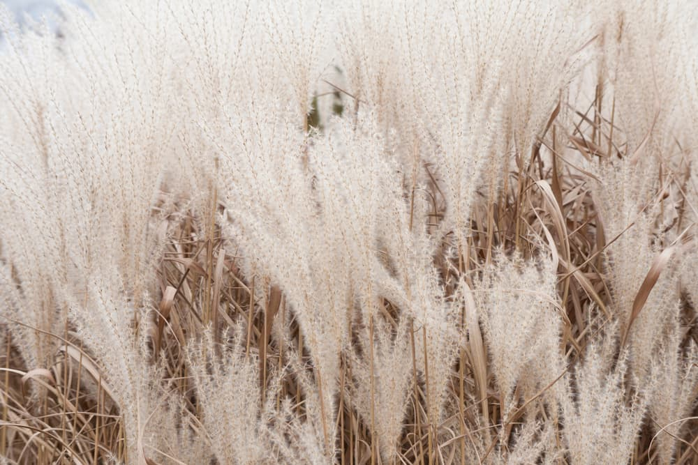 silver pampas grasses