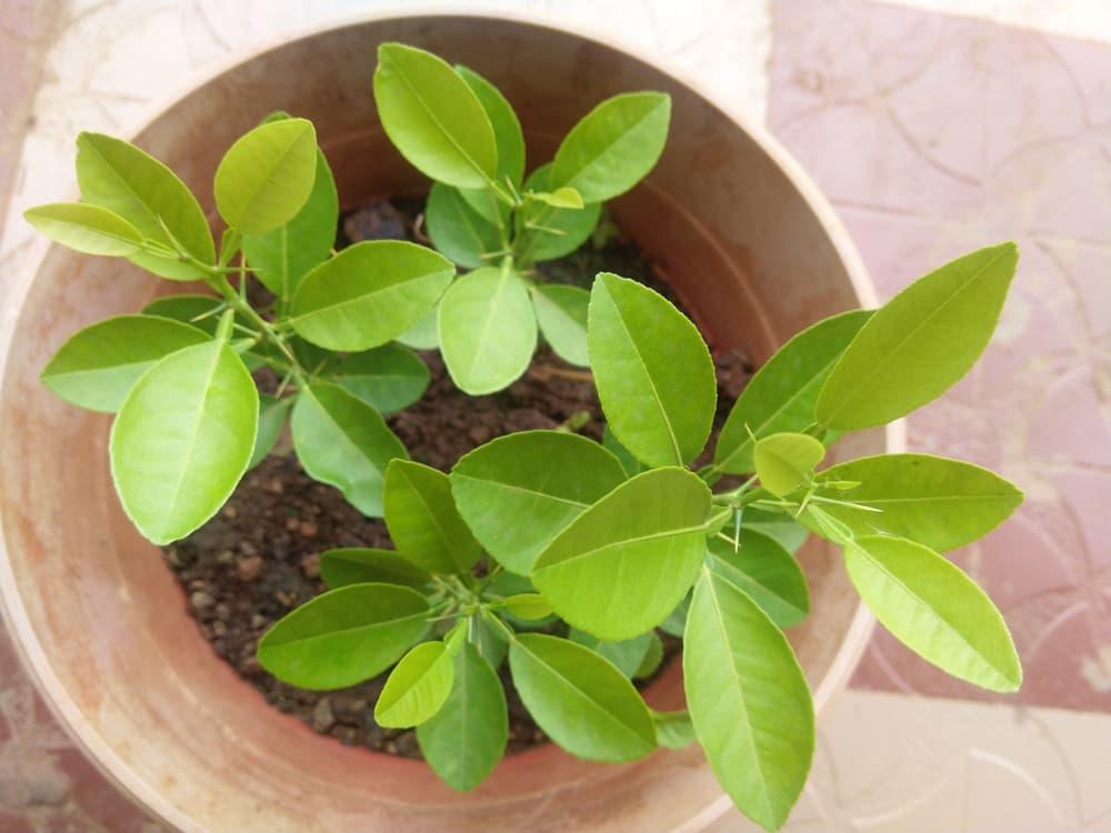 a lemon sapling in a ceramic pot