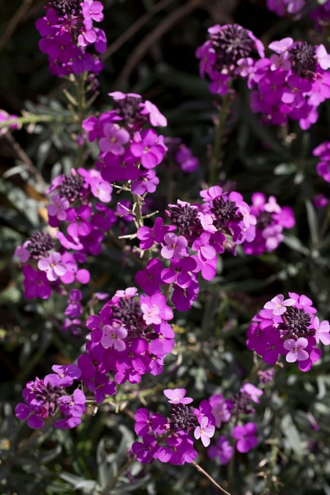 purple Bowles's Mauve flowers