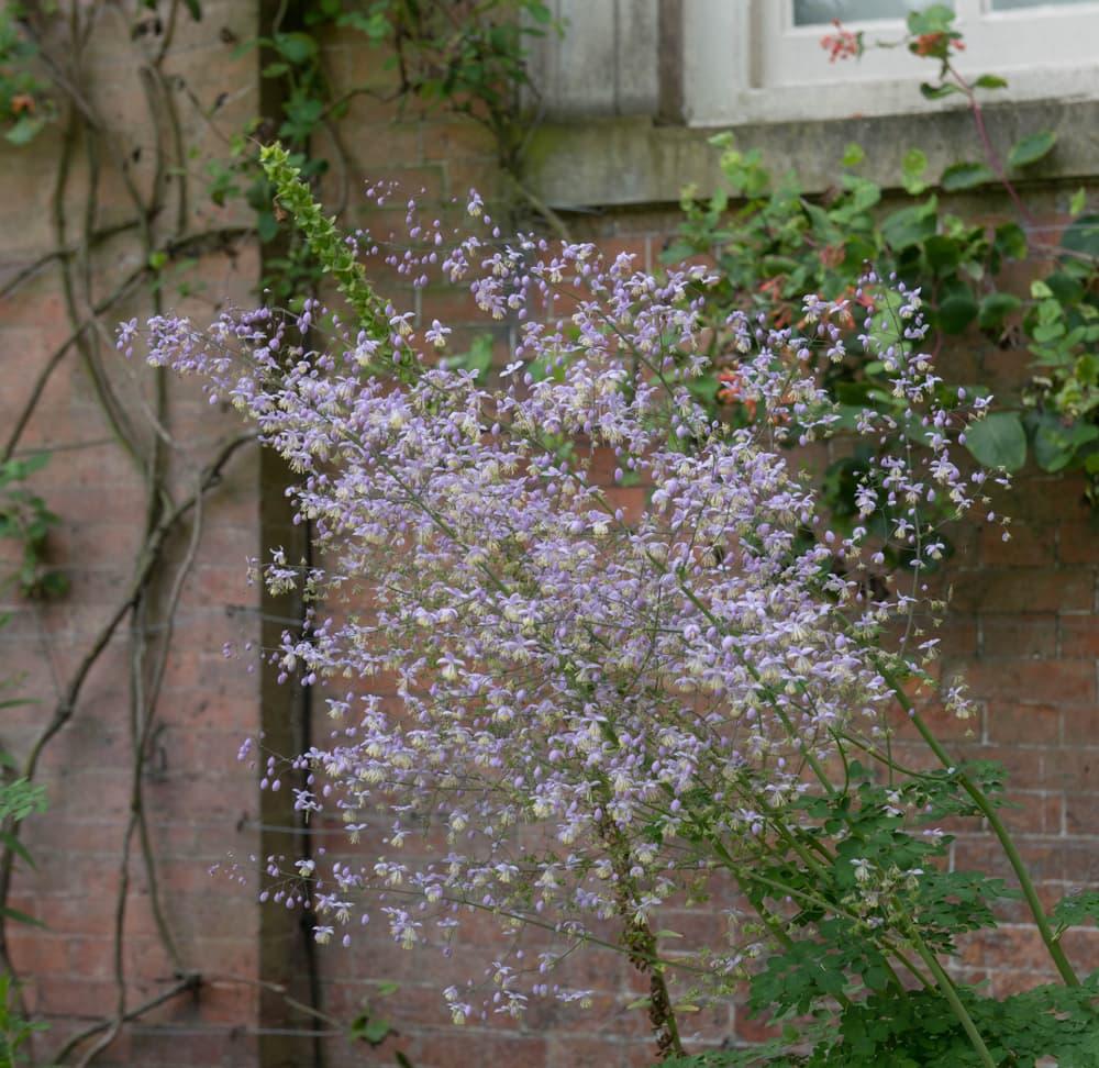 Summer Flowering Chinese Meadow Rue