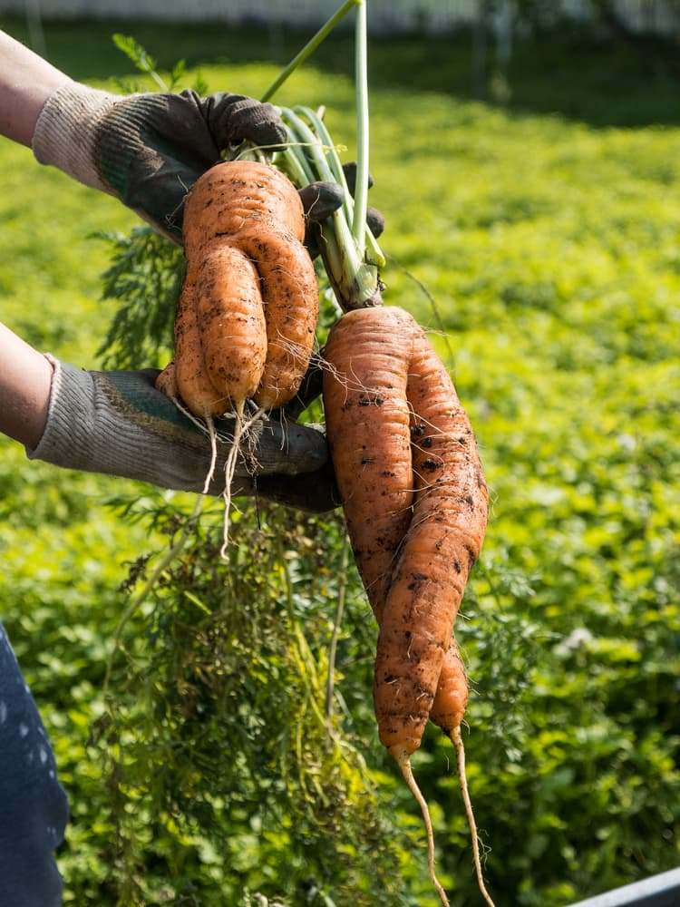 carrots pulled from the ground in highly unusual shapes