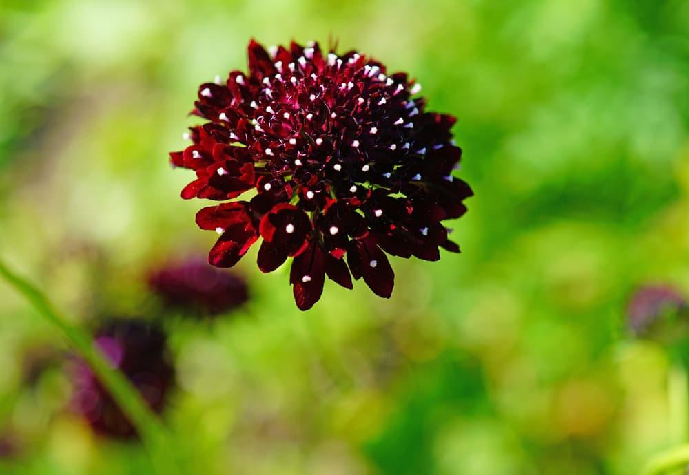 maroon coloured S. atropurpurea 'Black Knight' flower with a blurred background