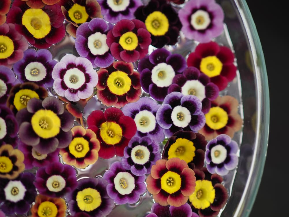 auricula flowers in various colours floating on water