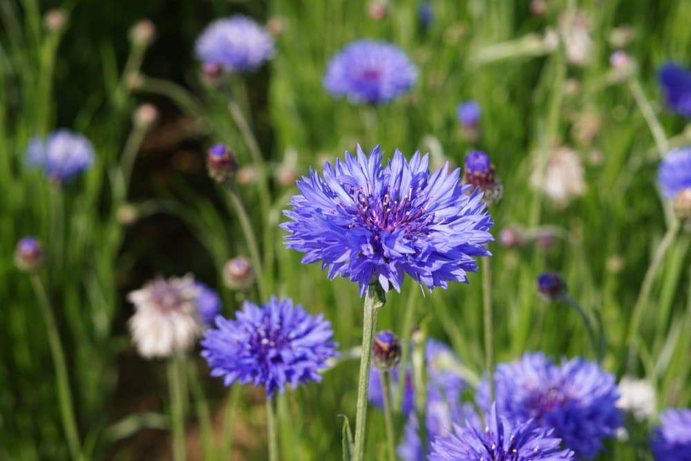 blue cornflowers in a Japanese garden