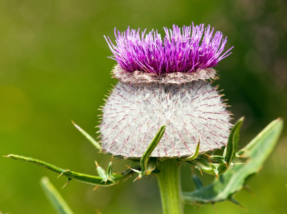 wooly thistle up close