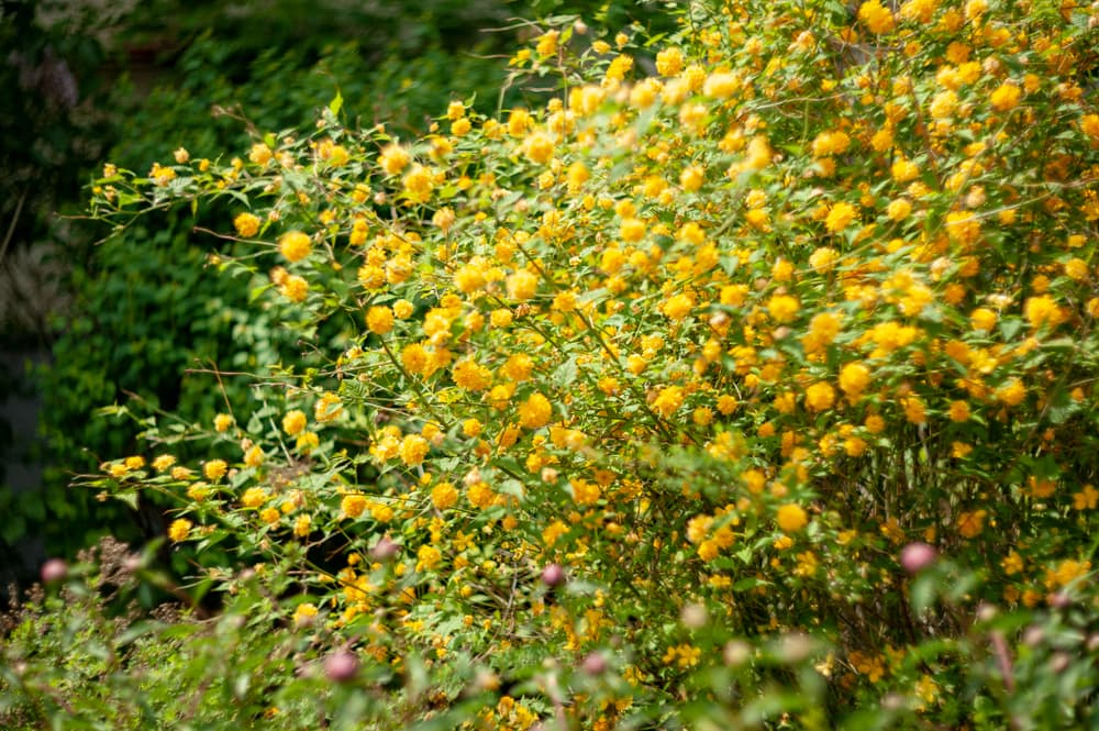 yellow Kerria japonica in spring