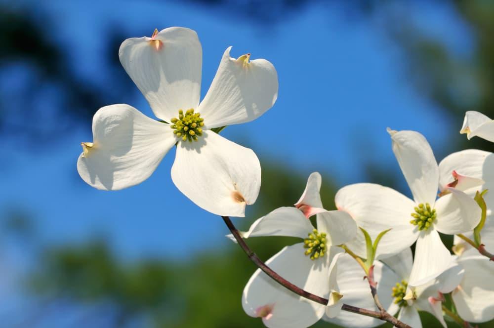 white flowering dogwood up close