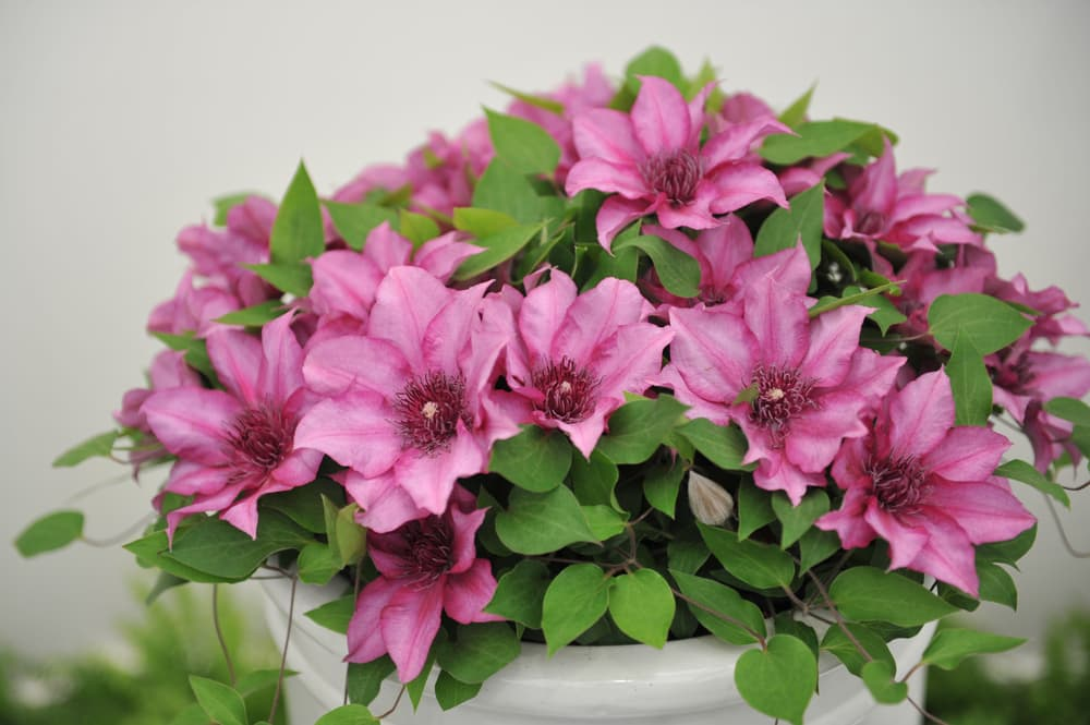 pink clematis flowers and green foliage