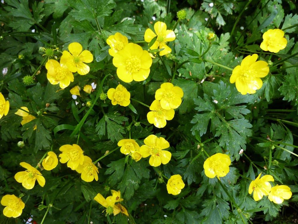 yellow flowering Ranunculus