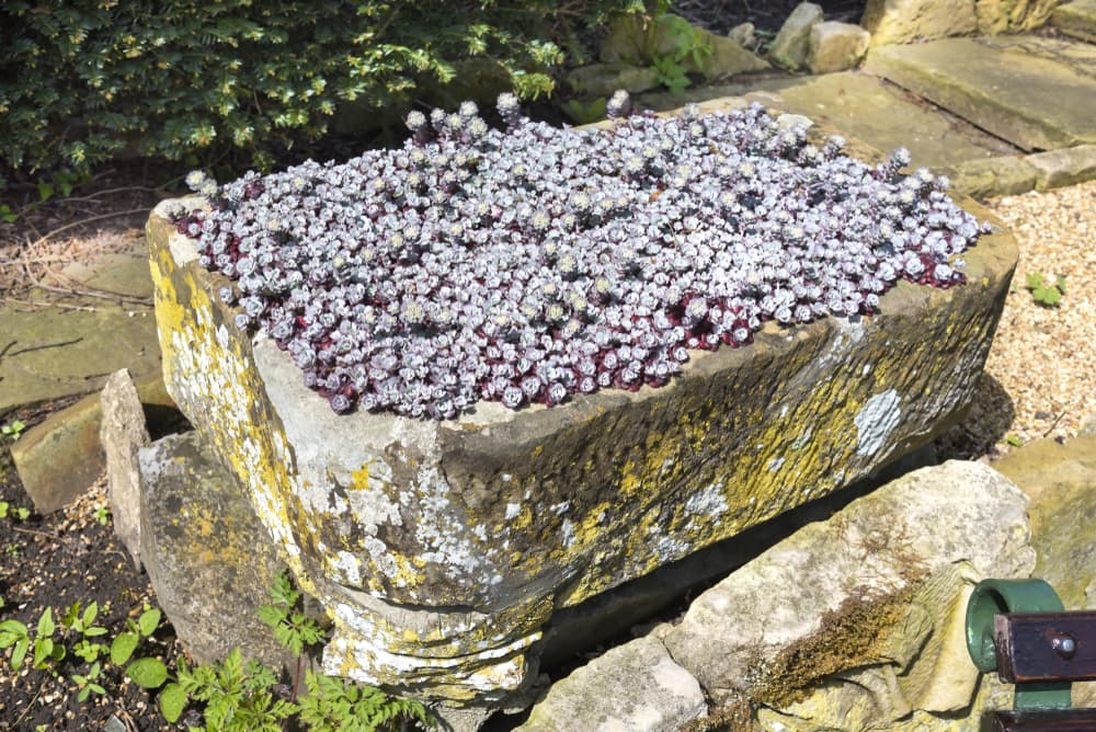 Saxifrages in an alpine trough