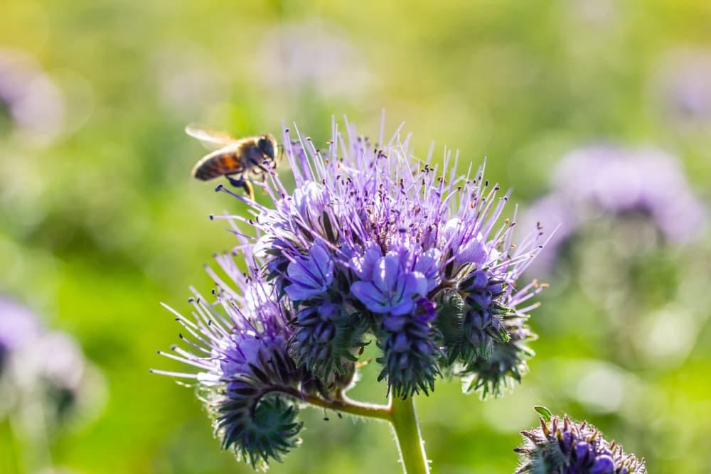 bee buzzing around purple fiddleneck