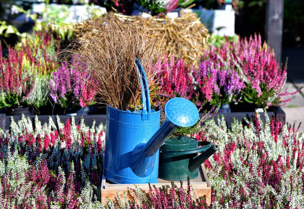 various types of heather with a blue watering can