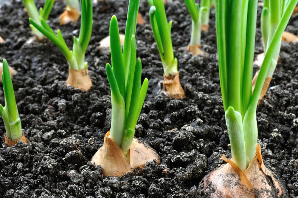 onions sprouting from soil