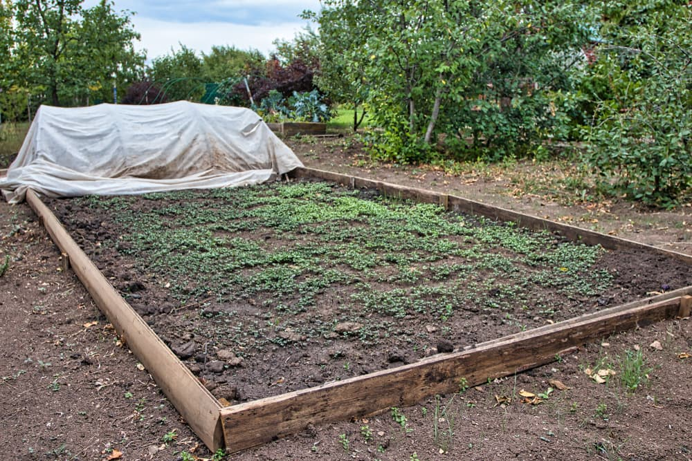 green manures planted in an allotment space