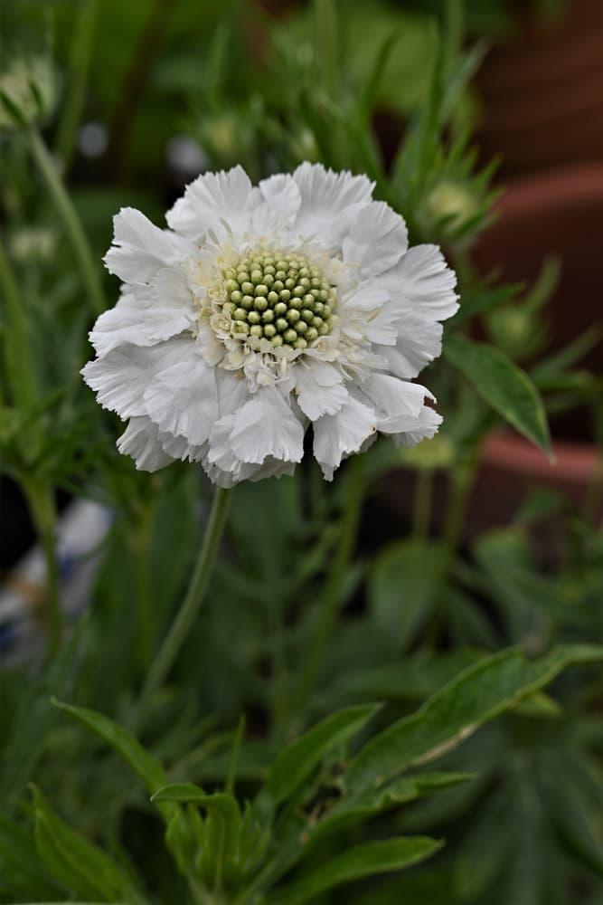 white flowering S. caucasica 'Fama White'