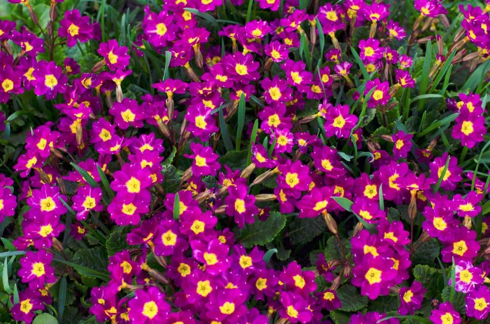 Purple Primula pubescens