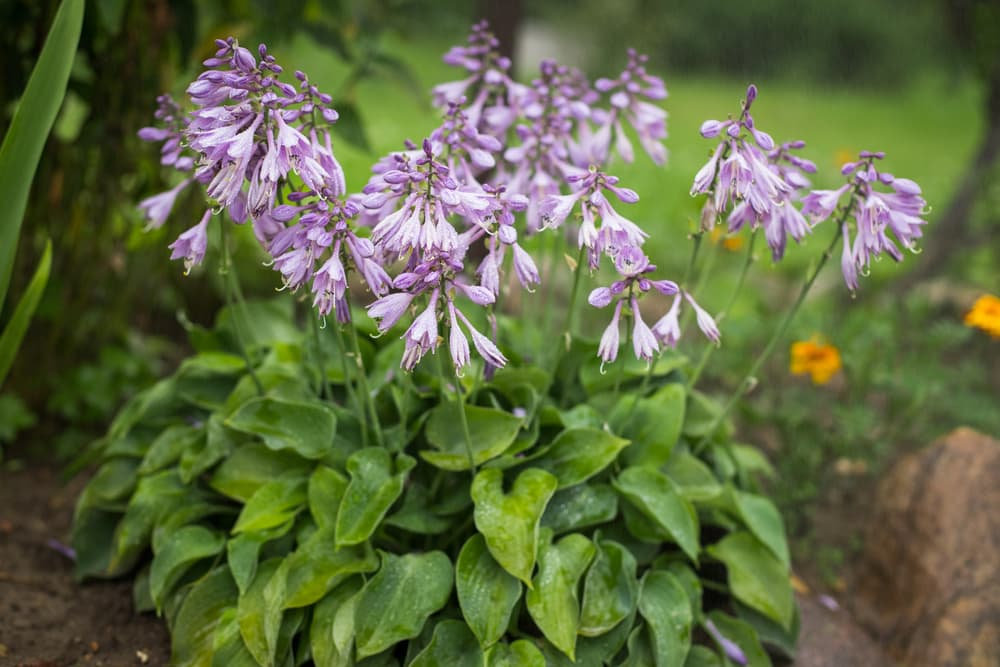 hosta with green foliage and purple flowers