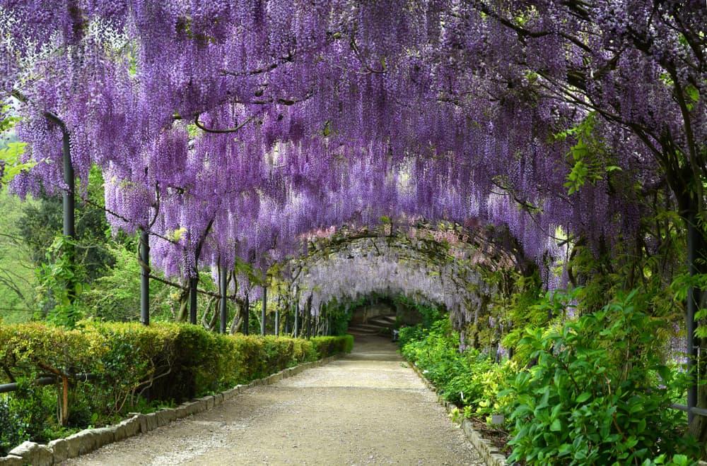 purple wisteria blooms in an Italian public garden
