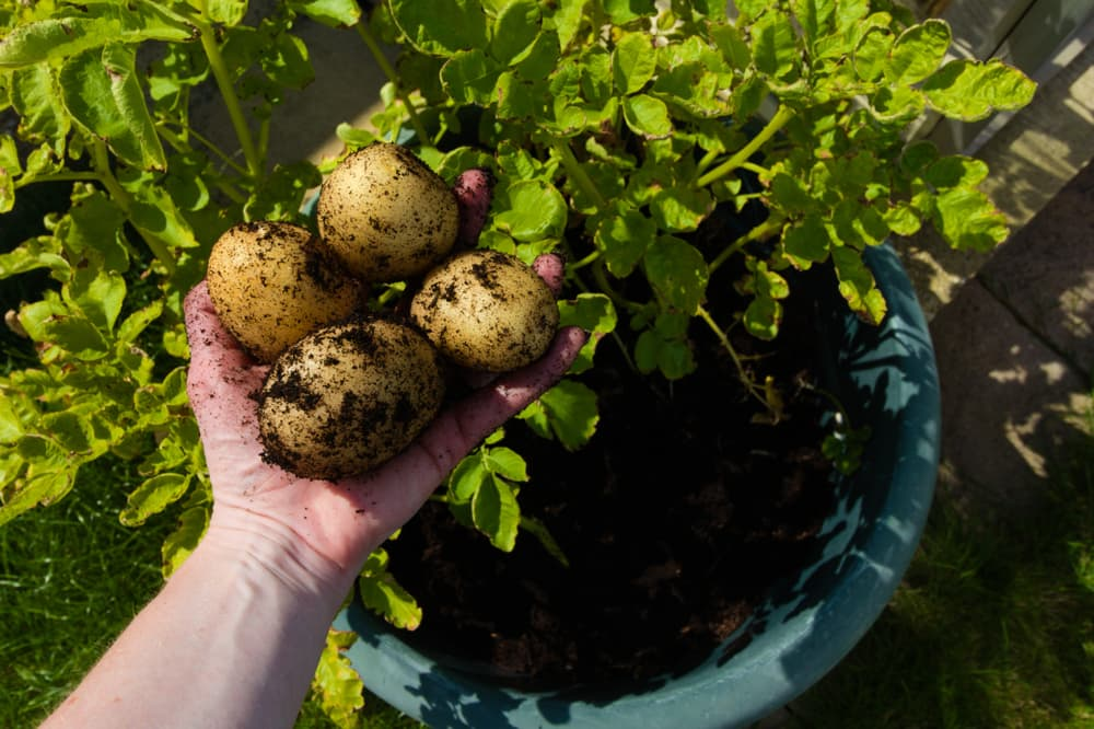 potatoes freshly dug from a blue container