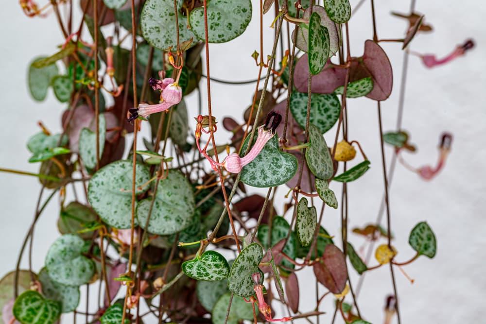 Ceropegia woodii flowering houseplant