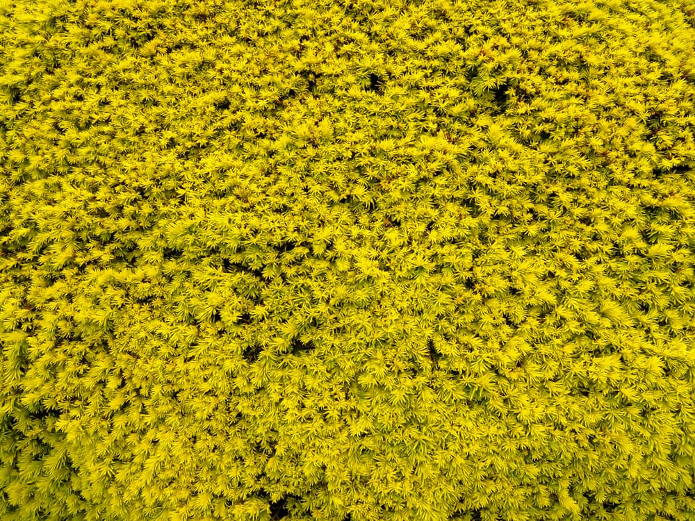 a wall of Genista lydia